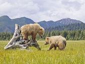 Alaskan niedźwiedzie — Zdjęcie stockowe