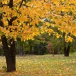 Stock Photo: Autumn in the park. Golden tree.