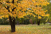 Autumn in the park. Golden tree. — Stock Photo