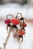 Frozen wild rose hips — Stock Photo