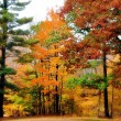 Colorful autumn / fall trees - pictures taken in the woods / forest — Stock Photo
