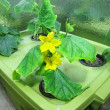 Stock Photo: Cucumber hydroponic plants / hydroponics/ organic vegetable garden/ cultivation of plants in greenhouse