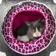 Happy / content fluffy Norwegicat resting / lounging in cat house / hotel — Stock Photo #18893243