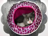 Happy / content fluffy Norwegian cat resting / lounging in a cat house / hotel — Stock Photo