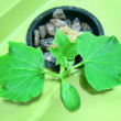 Cucumber hydroponic plants hydroponics organic vegetable garden cultivation of plants in greenhouse — Stock Photo