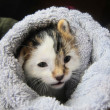 Happy content shorthair short hair calico cat resting lounging cozy in a towel — Stock Photo