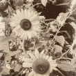 Vintage retro sepia flowers sunflowers on a sunny day — Stock Photo