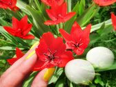 Beautiful lush red tulips spring flowers vivid color and green stems twigs and Easter eggs background — Stock Photo