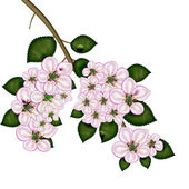 Branch of apple blossoms. — Stock Photo