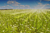 Chamomile field. — Stock Photo