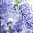 Lilac flowers. — Stock Photo