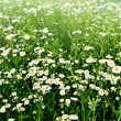 Summer landscape. Chamomile field — Stock Photo #35962093