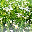 Summer landscape. Chamomile field — Stock Photo #35963007