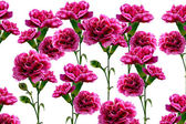 Flowers. Carnation. — Stock Photo