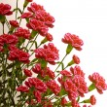 Carnation flowers — Stock Photo #40476569