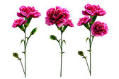 Branch carnation flowers — Stock Photo