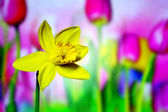 Tulips. Daffodils. — Stock Photo