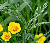 Field flowers buttercup — Stock Photo