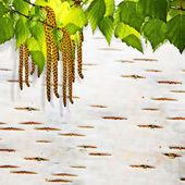 Background birch bark — Stock Photo