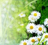 Wildflowers daisies — Stock Photo