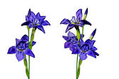 Blue flowers irises isolated on white background — Stock Photo