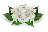 Weiße jasminblüte isoliert auf weißem hintergrund — Stockfoto