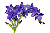 Blue iris flowers isolated on white background — Stock Photo
