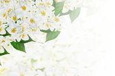 Background of flowers jasmine — Stockfoto