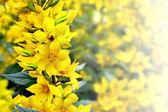 Paesaggio estivo con fiori gialli — Foto Stock