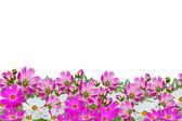 Cosmos flowers isolated on white background — Stock Photo