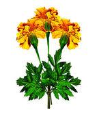 Beyaz arka plan üzerinde izole kadife çiçeği çiçek — Stok fotoğraf