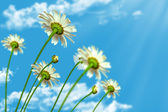 Daisy flowers on blue sky background — Foto de Stock