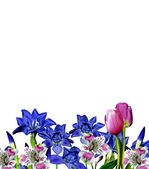 Iris blue flowers on a white background — Stock Photo