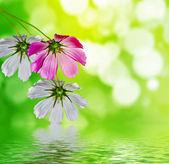 Kozmos çiçekleri — Stok fotoğraf