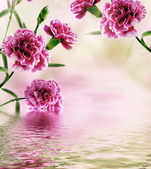 Carnation flowers reflected in water — 图库照片