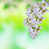 Spring landscape with delicate jasmine flowers — Stock Photo