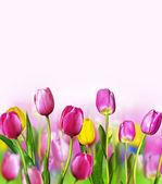 Blumen tulpen — Stockfoto