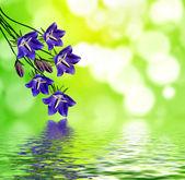 Flowers bluebells — Stock Photo