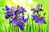 Flowers irises — Stock fotografie