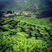 Tea Plantations, Brinchang, Cameron Highlands, Malaysia. — Stock Photo