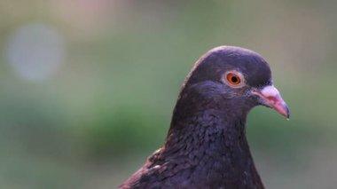 Pigeon, close up — Stock Video