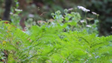 Forest vegetation fern and white yarrow — Vídeo de stock