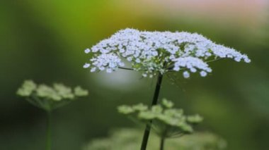 Flower of white yarrow wild plant — Stock Video