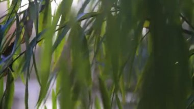 Weeping willow branches swaying in the wind — Stock Video