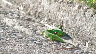 Green lizards fighting for a territory — Stock Video