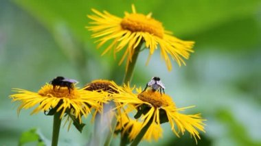 Bees Pollinating Yellow Wild Flowers — Stock Video