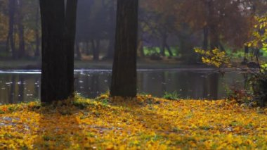 Autumn scenery - fallen yellow lives, tree stems and lake surface — Stock Video