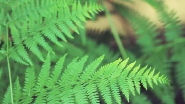 Close up on fern leaves — Vídeo Stock