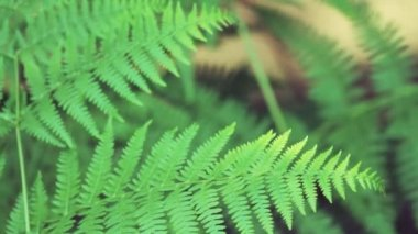 Close up on fern leaves — Vídeo de stock