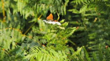 Fern, white yarrow and a butterfly — 图库视频影像